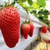 楽しくて美味しいイチゴ狩り♪(兵庫県小野市 小林農園)