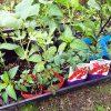 楽しい家庭菜園!庭の畑に夏野菜を植えました♪