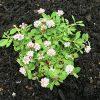 庭にクラピア(スーパーイワダレソウ)を植えて一年が経ちました♪