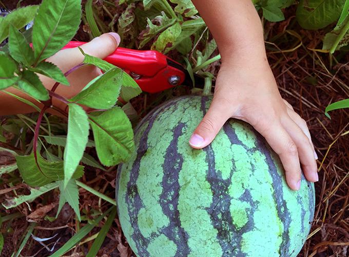 家庭菜園のスイカ