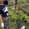 楽しい家庭菜園!庭のジャガイモを収穫しましたが今年は不作でした・・・