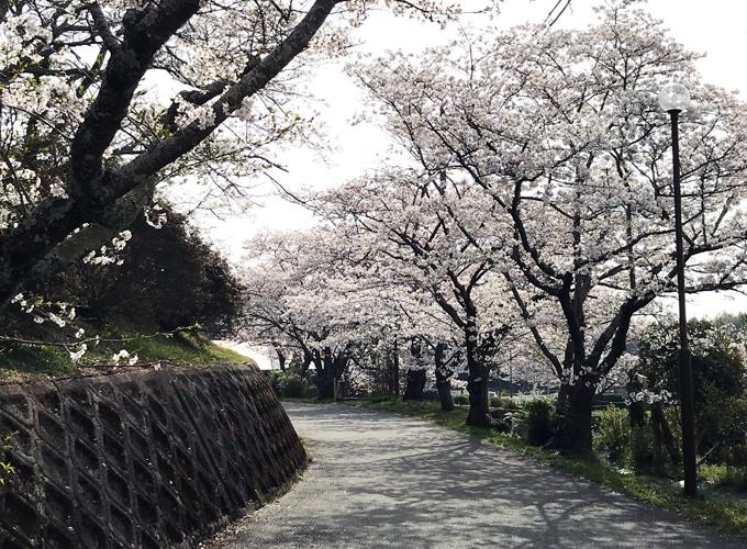 浄土寺の桜