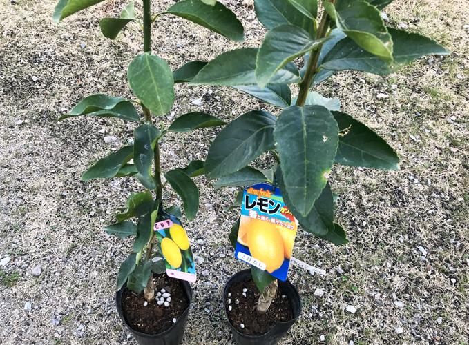 レモンの木と柚子の木
