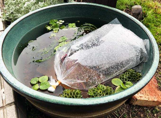 睡蓮鉢ビオトープ