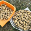連作4年目!今年も家族揃って庭のジャガイモを収穫しました♪