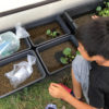 ビオトープの藍藻対策!ヤマトヌマエビと石巻貝を投入しました♪