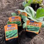 楽しい家庭菜園!今年も庭の畑にソラマメとジャガイモを植えました♪